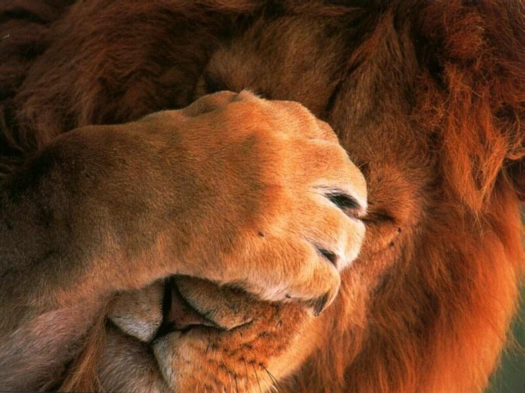 Lion_facepalm