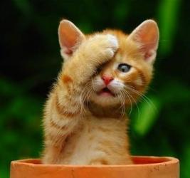 Kitten_pot_facepalm